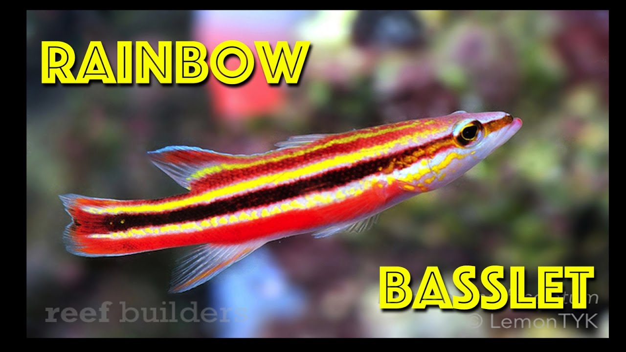 Colorful Rainbow Basslet - YouTube