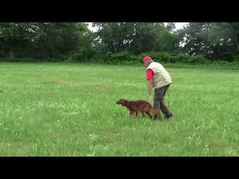 Kettu, Irish Setter, 13 months, training July 2017