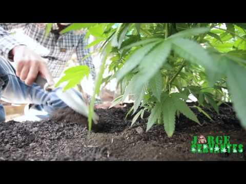 Guano (bat poop) Fertlizing And Watering Cannabis Plants with Jorge Cervantes