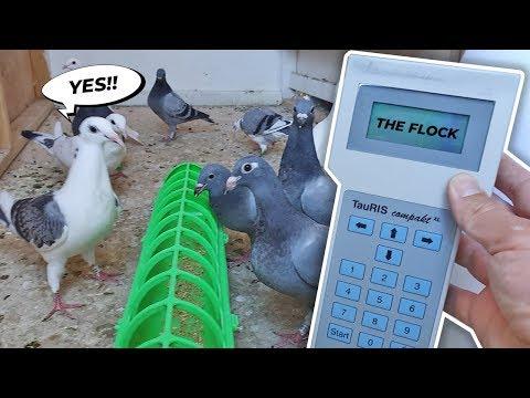 New Racing Pigeon ETS