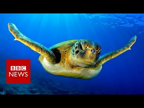 Warmer seas 'turning turtles female' - BBC News