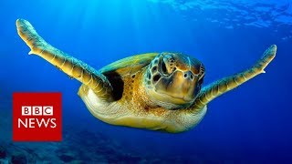 Warmer seas 'turning turtles female' - BBC News thumbnail