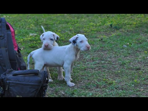 #greatdane #whitedane #dog #puppy #pawsheaven #pune Great Dane Puppies