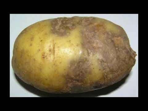 Почему картофель болеет