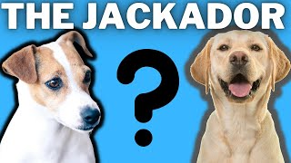 The Jackador: Labrador Jack Russell Terrier Mix Breed (Comparisons, Lifespan and Overview)