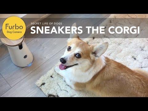 (furbo)-dog-camera-demo-with-sneakers-the-corgi