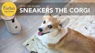 Sneakers The Corgi Loves Furbo | Furbo Dog Camera