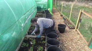 Julie's Allotment - weeding the strawberry beds - 3rd April 2016