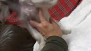 チャイクレの子犬販売 http://www.dog-search.biz/chai/