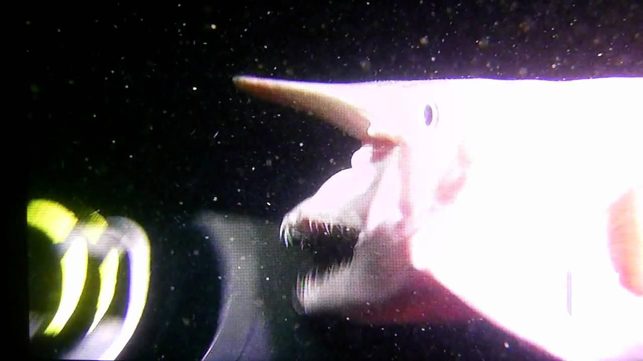 Fishermen caught prehistoric goblin shark