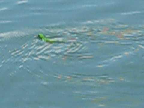 Acommon1 Travel Panama Canal II - Little Lizard Freed!