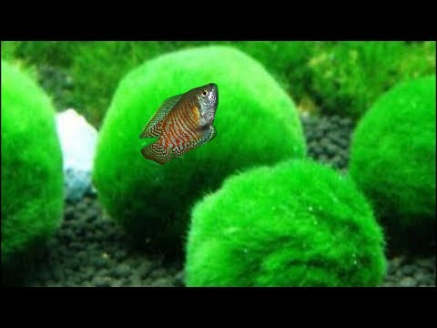 5 Aquarium Plants To Grow Without Soil - Fish Tank Live Plants That Don't Require Substrate