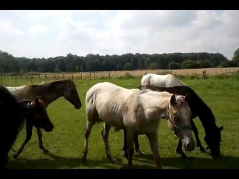 poa ranch germany pony s zu verkaufen youtube. Black Bedroom Furniture Sets. Home Design Ideas
