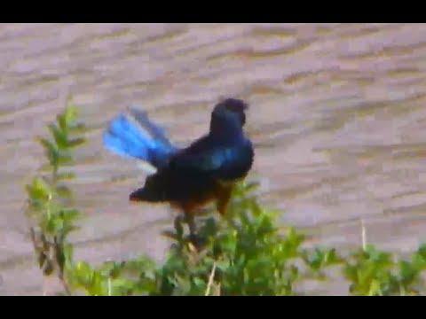 Superb Starlings on Africa Animals cam. 15 December 2017