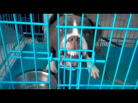 Pitbull puppy in crate hates staying there
