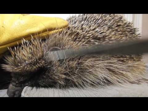 Removing Ticks from Wild Hedgehog & tips 18jul16 Cambs UK 102a