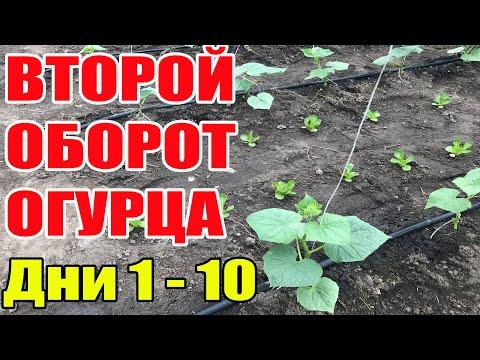 Второй оборот огурца . Выращивание огурцов в теплице с 1 по 10 день