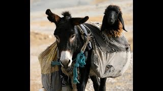 Donkey nannies exist and this is the best news we