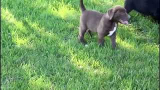 Lab American Bulldog Mix Puppies For Sale