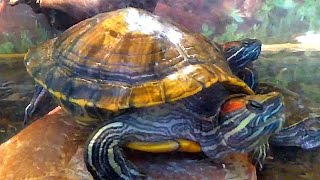 Черепахи. Красноухие Черепахи. Видео Черепахи. Футажи для видеомонтажа(Автор: Александра Лихачёва. http://positivecreativ.ru Черепахи. Красноухие Черепахи. Видео Черепахи. Футажи для видеомо..., 2016-02-23T19:54:39.000Z)