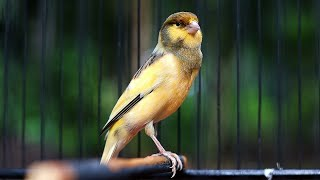 Download Mp3 Best Canary Singing Your Canary Will Sing in 10 minutes