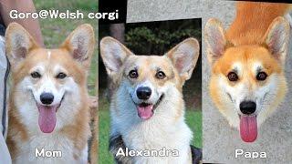 Alexandra & Parents Morphing / アレクサンドラと両親のモーフィング Welsh Corgi Pembroke コーギー