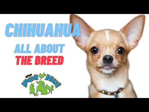 All About the Breed: Chihuahua