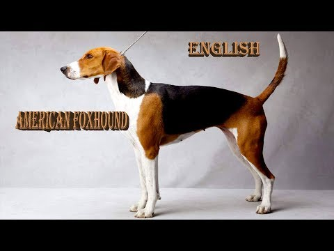 Everything about American Foxhound in English