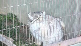 モフモフ 世界最古の猫 マヌルネコ が可愛すぎる ダーウィンが来た で ...