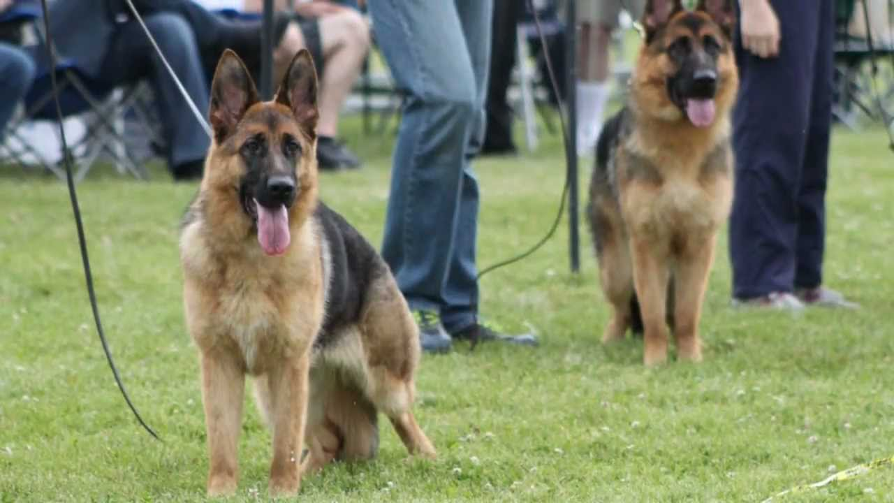 German Shepherd Dog Sieger Show