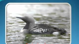 Водоплавающие птицы мира