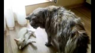 Котенок нападает на взрослую кошку.