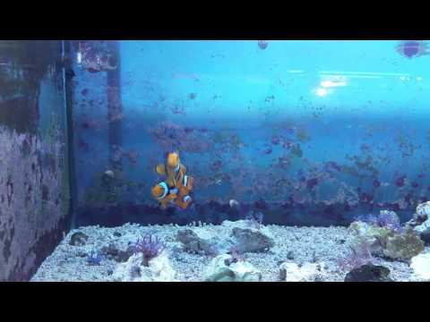 Mated Pair Of True Percula Clownfish For Sale @ AquaCorals.com