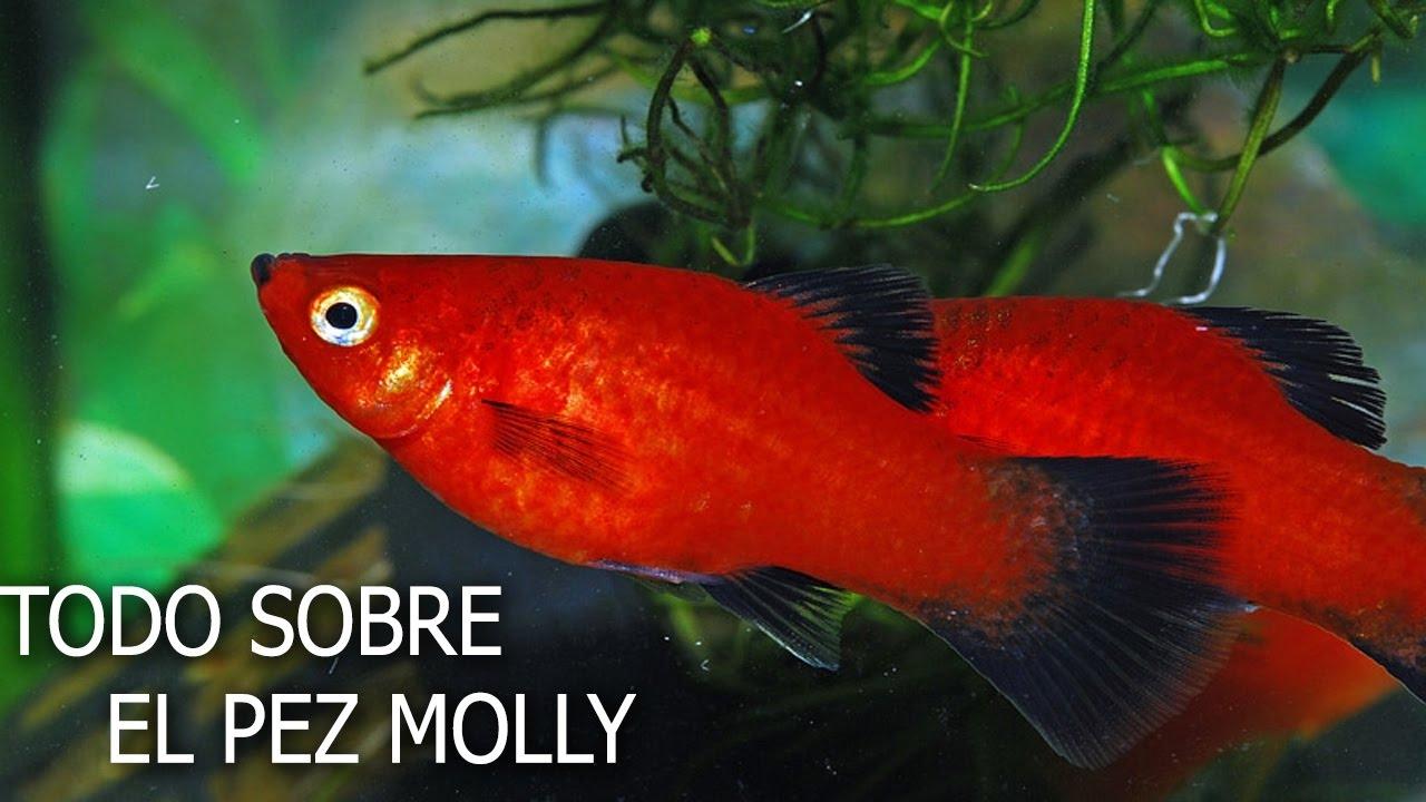 El pez molly todo sobre el pez molly reproduccion y for Cuidado de peces