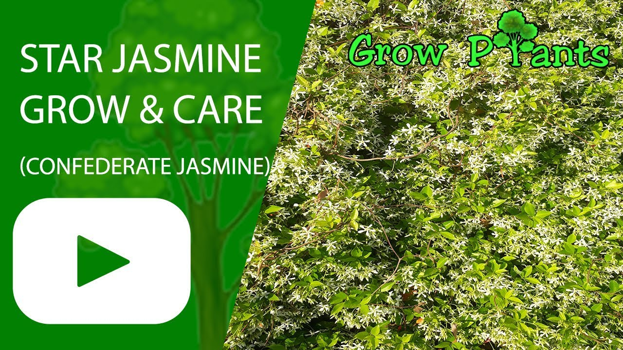 Star Jasmine Flower Fragrant Hedge Plant Grow Care Confederate