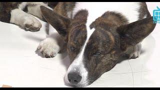 Test.tv: Все для животных. Вельш-корги – все что нужно знать о породе