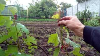 Как натягивать проволоку на шпалере для винограда.(, 2016-05-29T09:36:23.000Z)