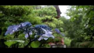 Rain won't stop you from viewing the beautiful Hydrangea (Ajisai in...