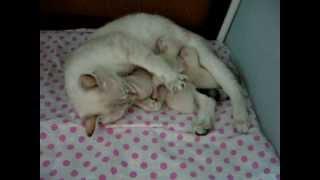 Счастье кошки - матери / It's happiness of cat's mother / Тайские кошки - это чудо! Funny Cats