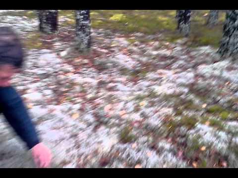 Как в Шахунье собирают белые грибы