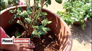 [English CC]February blossom care of Arabian Jasmine / Mogra ( in hindi)