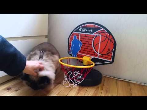 "Ragdoll-Cat Leonardo diKatzio Shows its Amazing Tricks: Today ""Basketball for Beginners"""