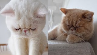 Exotic Shorthair Cat Breed # 3