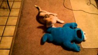 Siberian Husky Puppy Playing With Cookie Monster