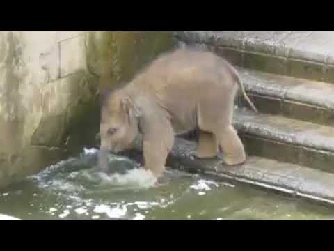 baby elephant goes swimming