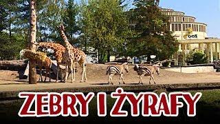Żyrafy i zebry w Zoo Wrocław