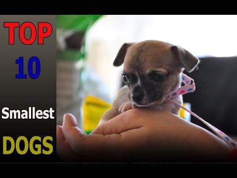 Top 10 smallest dog breeds | Top 10 animals