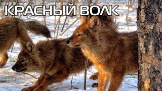 Красный волк. Описание вида, фото