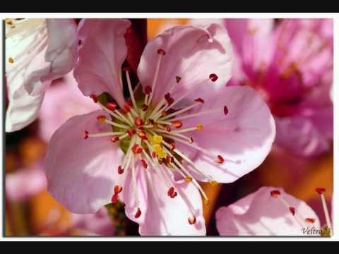 Fiori Rosa Fiori Di Pesco Testo.Fiori Rosa Fiori Di Pesco Youtube