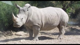 KENYAN WHITE RHINOS: Meet \'Queen Elizabeth and Kofi Annan\' in Kenya